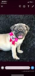 Pug com pedigree FEMEA