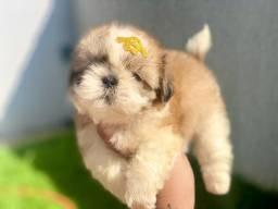 Baby de Shih tzu lindo pronto para entrega