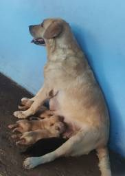 Título do anúncio: Vendo Cachorro Labrador