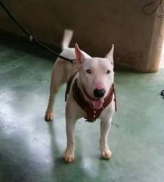 Bull terrier inglês disponível para cobertura