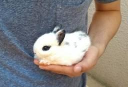 Mini coelho Hotot - Branco