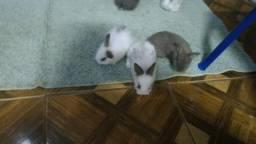Vendo filhotes de mini Coelho