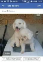 Urgente vende filhotes da raça poodle macho