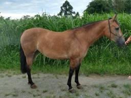 Egua crioula domada