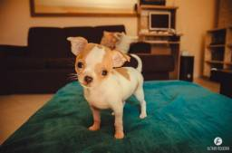 Chihuahua - filhote macho puro