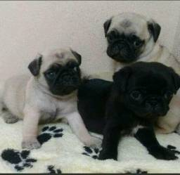 Bebês de pug