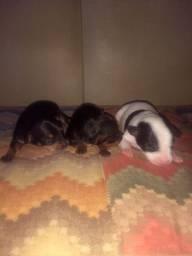 Cachorros Pinschers