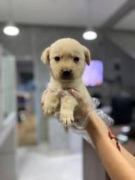 Labrador Lindinho Disponível