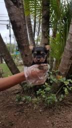 Yorkshire Terrier micros c/ pedigree e 13 clinicas 24h p/ total assistência
