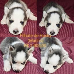 Título do anúncio: Vende-se Filhotes de husky Siberiano
