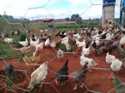 Ovos Galado de galinha raça GLC
