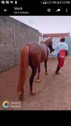 Cavalo capitão?