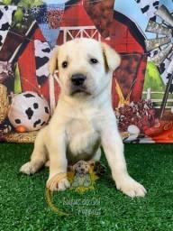 Adoráveis filhotes de Labrador