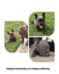 Bulldog Francês Exótico com pedigree e microchip em até 12X