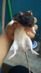 Vende-se ratos Twistter (Penápolis)