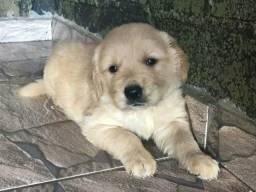 Golden retriever com pedigree