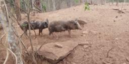 Porcas para cria