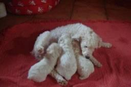 Poodle Micro/Akita Inú/Husky Siberiano/Dogue Alemão,tdo em até 10 x no PàgSeguro