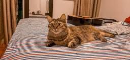 Adoção responsável de linda gatinha, castrada, vacinada e vermifulgada.