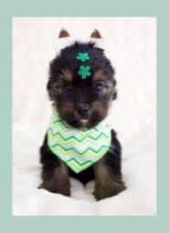 Filhote encantador de yorkshire terrier macho - disponível