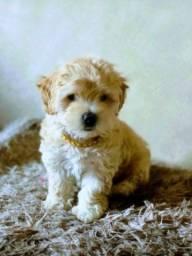 Título do anúncio: Filhote de poodle puro