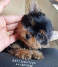 Yorkshire terrier miudinho com pedigree