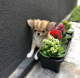 Título do anúncio: Chihuahuas filhotes