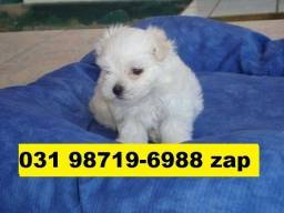 Canil Filhotes Cães Lindos BH Maltês Lhasa Fox Poodle Shihtzu Maltês Beagle