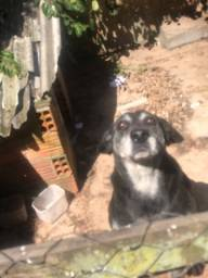 Labrador (macho) DOAÇÃO