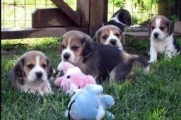 13 Polegadas! Beagle Filhote com Pedigree + Vacina Importada