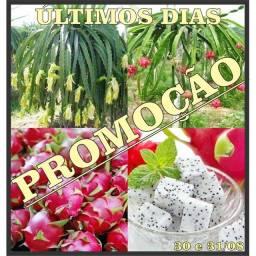 FRUTA DO DRAGÃO PITAYA