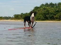 Bull terrier macho para cruza