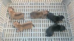 Filhotes de pinscher à venda