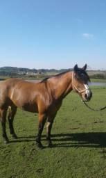 Cavalo crioulo.- Gateado registrado