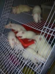 Ratos brancos