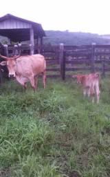 Vendo vaca com bezerro