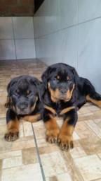 Filhotes de Rottweiler com pedigree,pai campeão Pan-americano
