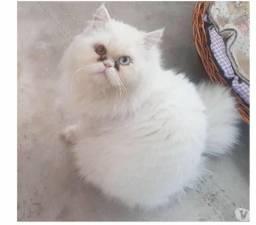 Gato persa macho branco com 2 anos excelente padreador com olhos impar lindo
