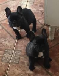 Filhotes Bulldog Francês PEDIGREE
