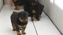 Rottweiler com 29 dias de vida