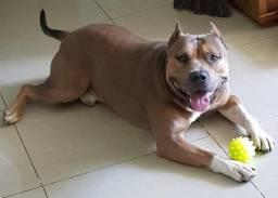 American Staffordshire Terrier para cruzar