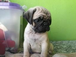Pug femêa abricot/ ótimo valor já vacinada e vermifugada