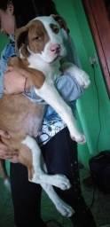 Vendo ou troco Filhote macho pitbull 2 meses
