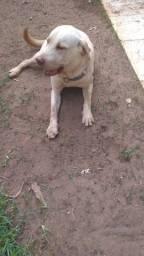 Cachorro da raça labrador