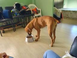 Boxer fêmea 11 meses