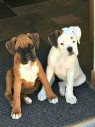 Filhotinhos de Boxer disponíveis, entregamos na sua casa!