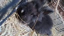 Título do anúncio: Mini Lion coelho macho