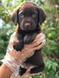 Título do anúncio: Labrador disponível em nossa loja.