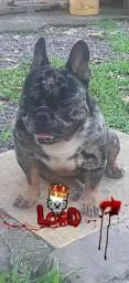 Bulldog Frances Merle Para Cobertura