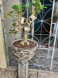 Rosa do Deserto Estilizada, Moldada e Florindo